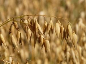 oats-oat-field-arable-cereals-87824